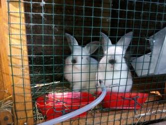 vand iepuri