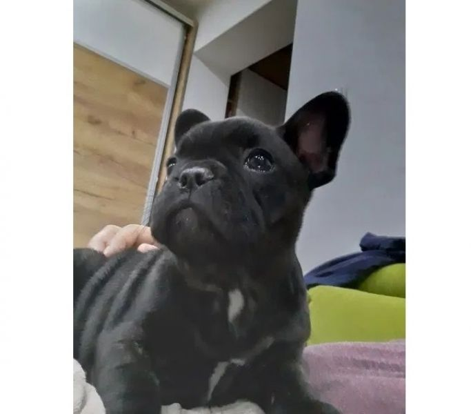 Caine Bulldog Francez-1