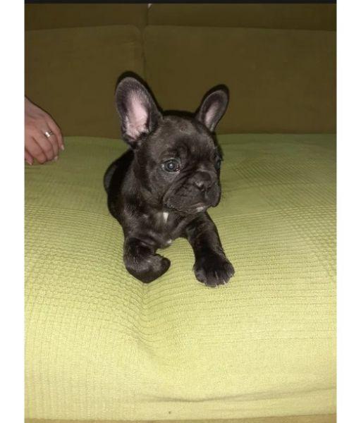 Caine Bulldog Francez-4