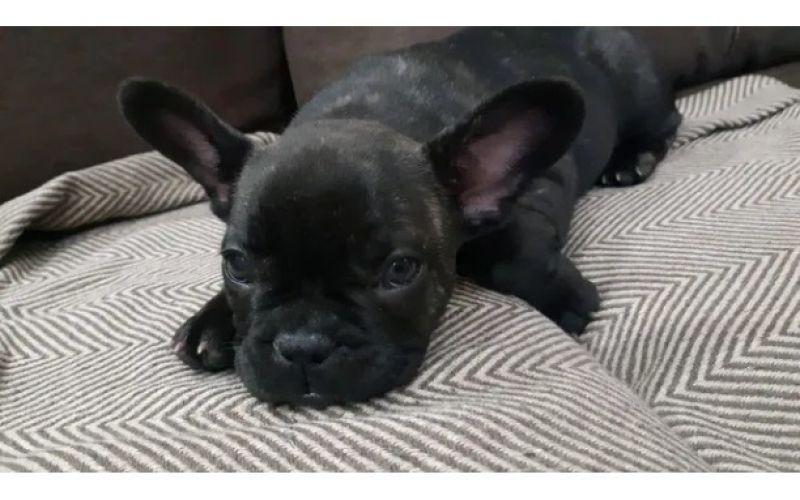 Caine Bulldog Francez-5