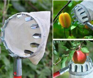 Culegator fara coada , cules fructele