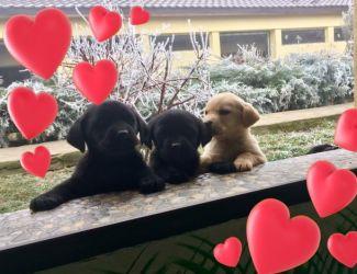 DISPONIBILE pentru o noua familie:Labrador Retriever