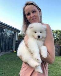 Doi cățeluși Samoyedo minunați pentru adopție