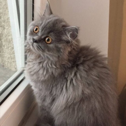Felisa Pipera vinde pui British Longhair