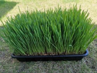 Iarbă de grâu ecologica