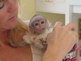 Maimuțe capucine bine antrenate, disponibile acum pentru adopție
