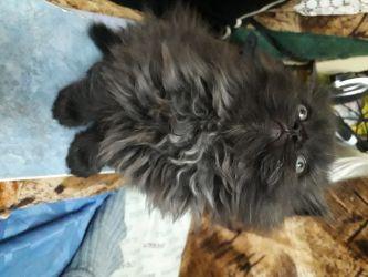 Pisicuța persani