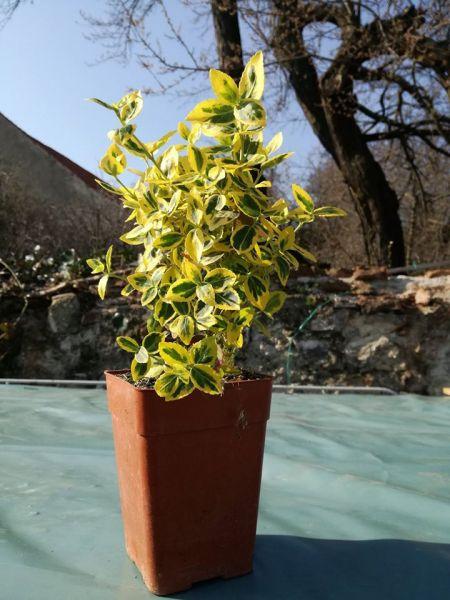 Plante flori ornamentale cautam distribuitori pentru produsele noastre-1