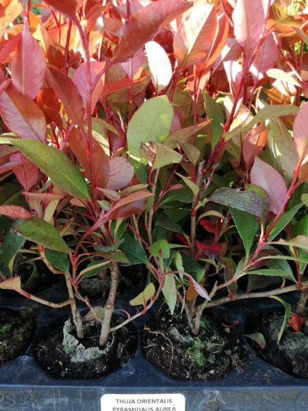 Plante flori ornamentale cautam distribuitori pentru produsele noastre-2