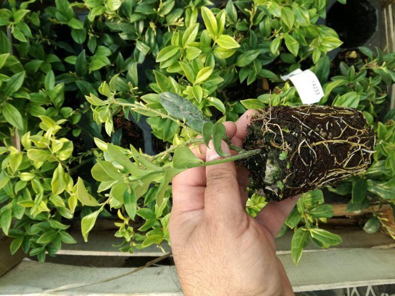 Plante flori ornamentale cautam distribuitori pentru produsele noastre-4