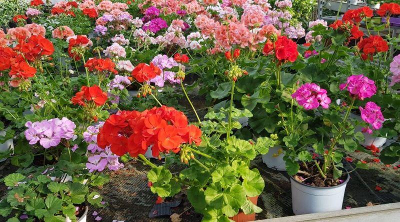 Plante flori ornamentale cautam distribuitori pentru produsele noastre-7