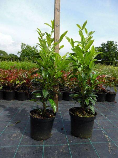 Plante flori ornamentale cautam distribuitori pentru produsele noastre-8