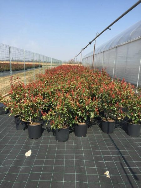 Plante flori ornamentale cautam distribuitori pentru produsele noastre-9