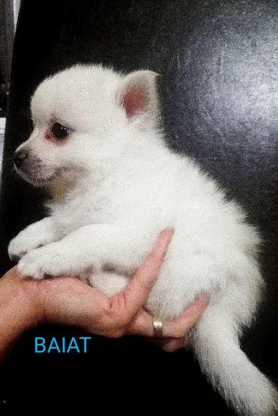 Pomeranian Mini Toy -3