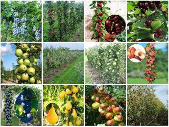 Pomi fructiferi columnari pitici-10+5 gratis anul 3