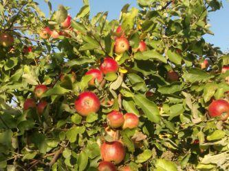 Pomi fructiferi de diferite soiuri