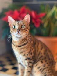 Pui Pisica Bengaleza