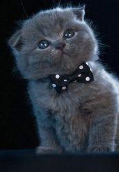 Pui pisica Scotish Fold Blue