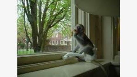 Scutece Maimuțe capucine antrenate pentru adopție