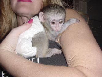 Sunt disponibile maimuțe de cimpanzeu, capucin, veveriță, păianjen și