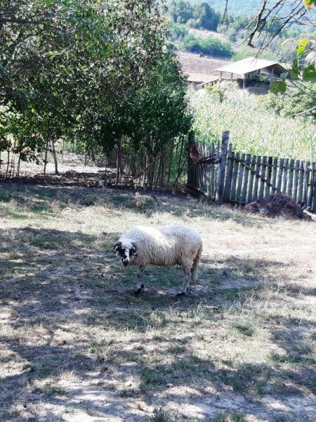Vand oi si berbecuți-2