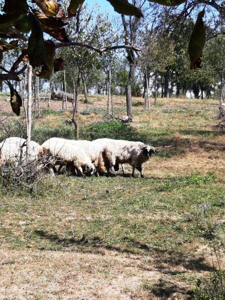 Vand oi si berbecuți-4