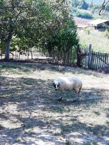Vand oi si berbecuți-5