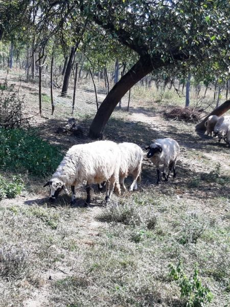 Vand oi si berbecuți-6