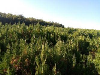 Vând puieți de tuia pentru gard viu sau ca arbori ornamentali