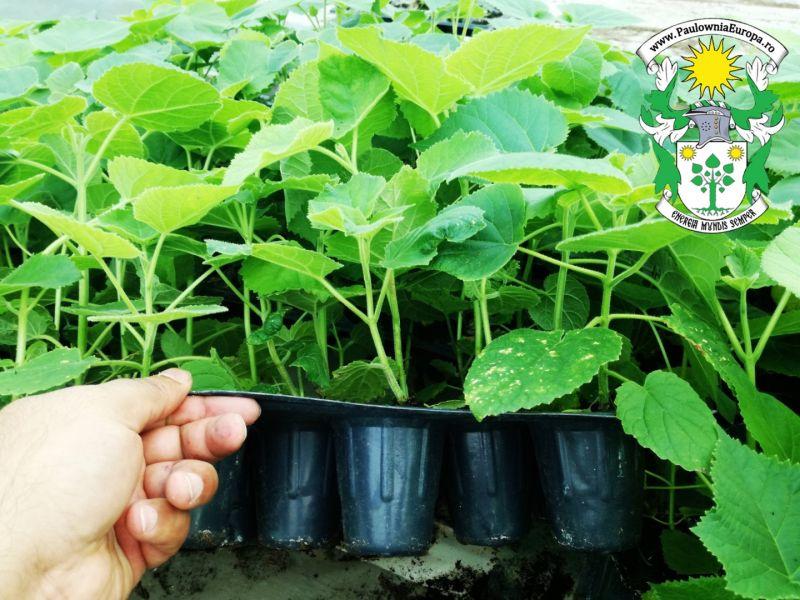 Vand puieti /rasad de paulownia productie VITRO-4