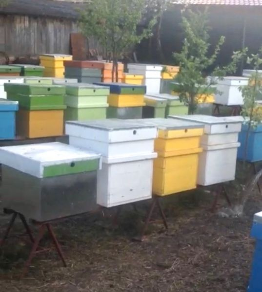 Vand stupina formata din 48 de familii de albine-7