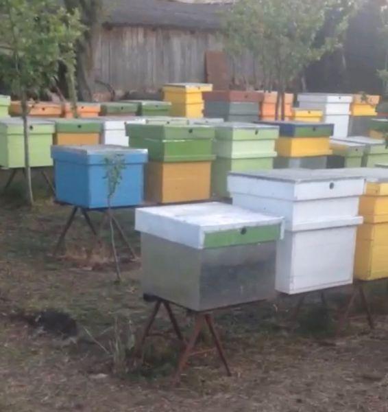 Vand stupina formata din 48 de familii de albine-8