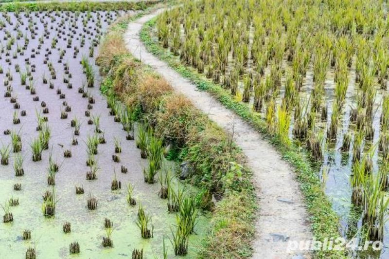Vanzare teren agricol Braila(Orezarie) 350 ha-1