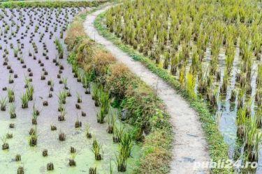 Vanzare teren agricol Braila(Orezarie) 350 ha