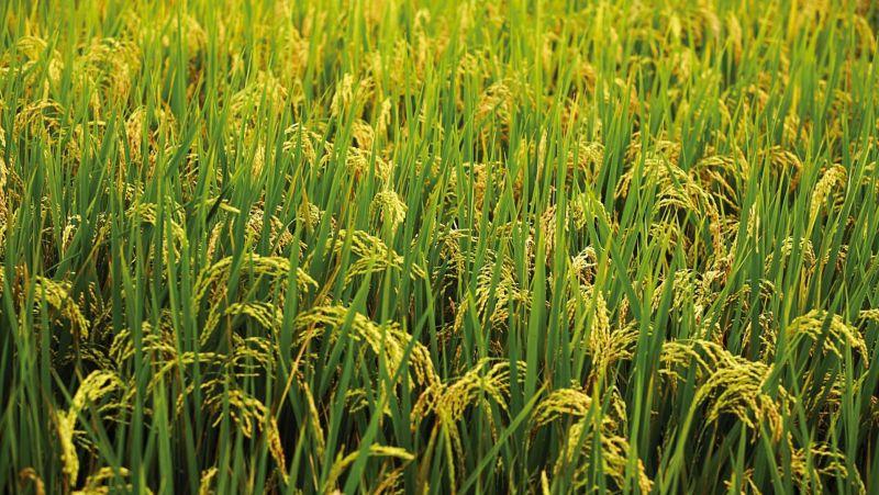 Vanzare teren agricol Braila(Orezarie) 350 ha-3