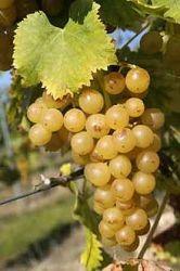 Viticultor - Vând struguri pentru vinificare
