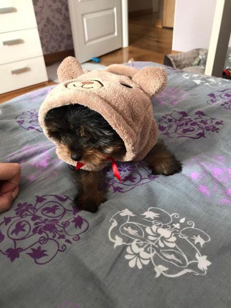 Yorkshire terrier de rasa pura cu vaccin si deparazitati.-5